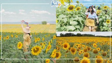 """Photo of """"Ngất ngây"""" trước mùa hoa hướng dương ở Sapa đẹp đến nao lòng"""