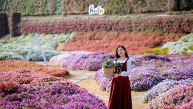 Photo of Lên đồ checkin gấp Thung lũng hoa Hồ Tây nở rộ đẹp ngút ngàn