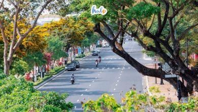 Photo of 'Ngẩn ngơ' trước khung cảnh hoa sưa vàng nở rực trên khắp con phố Đà Nẵng