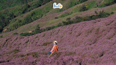 Photo of Hoa Chi Pâu Tây Bắc, loài hoa gây thương nhớ trên đỉnh Tà Chì Nhù