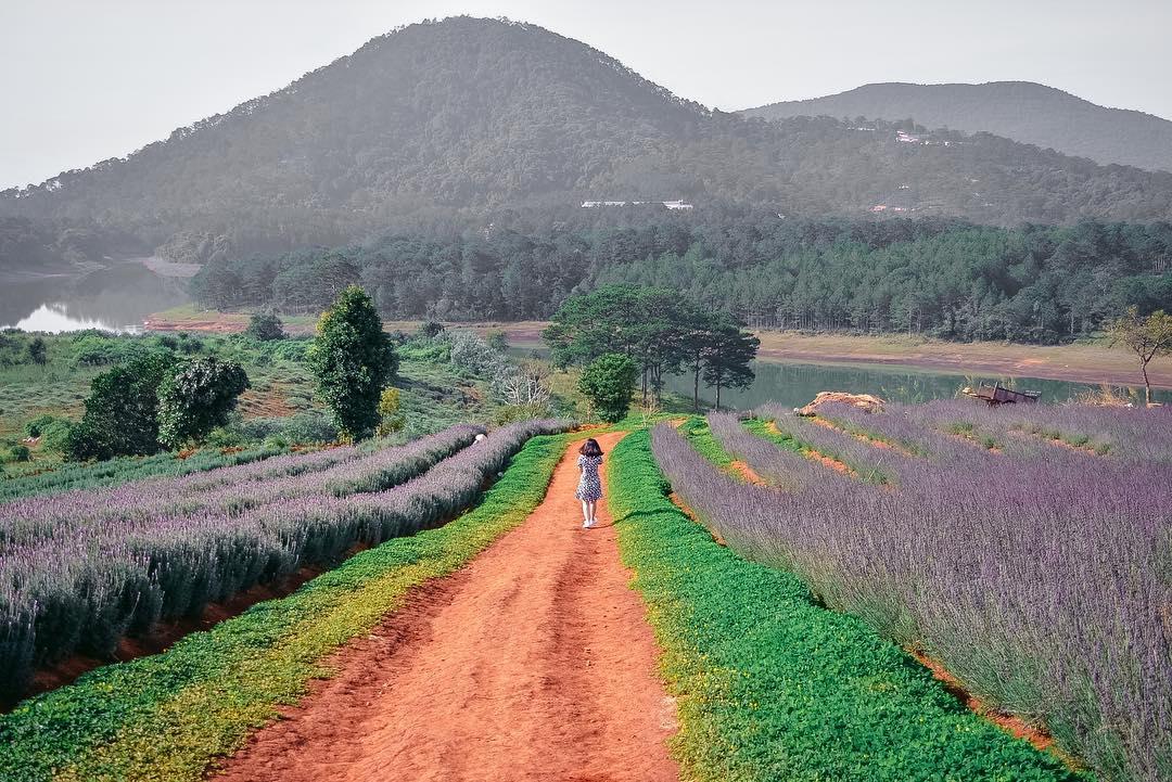 vuon hoa lavender da lat ca_ngao_da