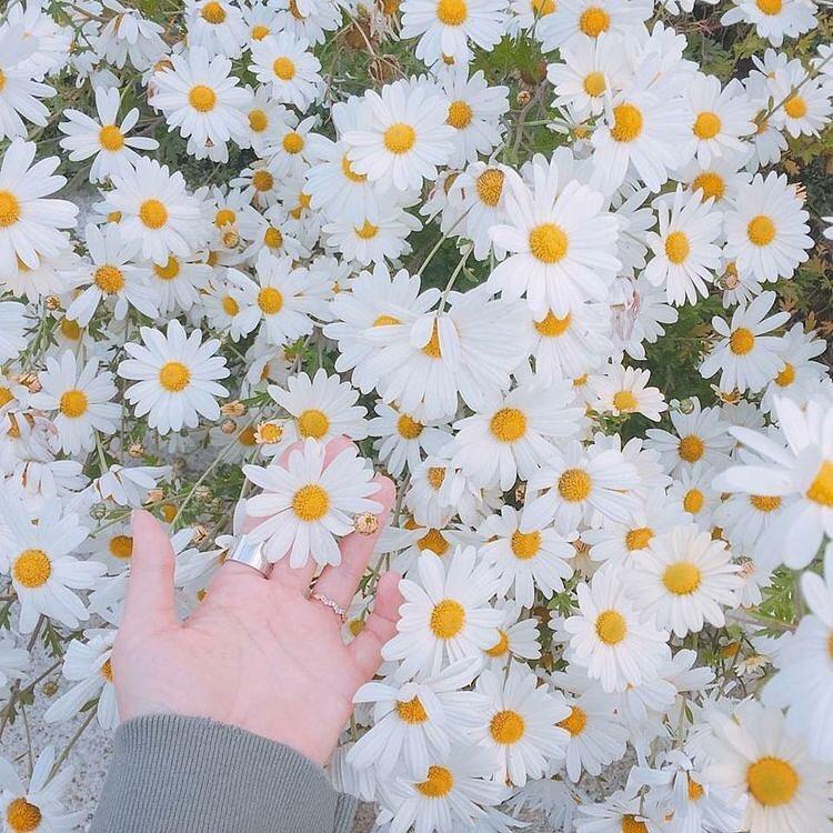 cuc hoa mi 6