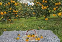 Photo of Dân tình rủ nhau checkin vườn cam Mộc Châu chín mọng – ý tưởng mới là đây chứ đâu