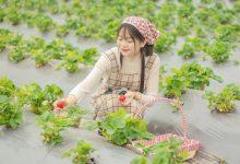 """Photo of Phát hiện vườn dâu """"siêu to khổng lồ"""" trong lòng Hà Nội"""