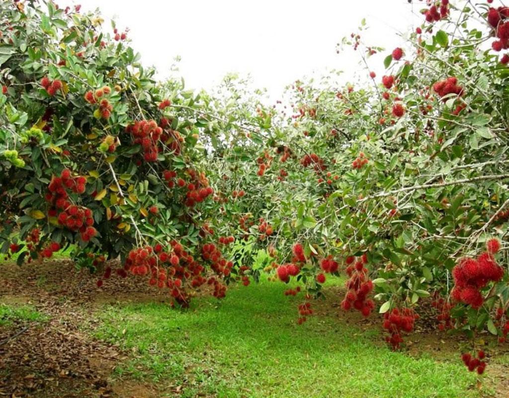 vườn trái cây cù lao thới sơn