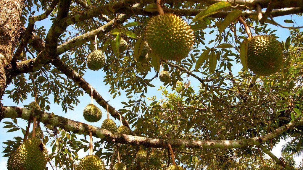 Vườn trái cây Chợ Lách Bến